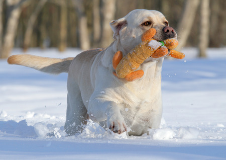 yellow labrador in the snow in winter with an orange toy close up photo