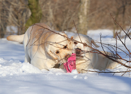 yellow labradors in the snow in winter playing with a toy photo
