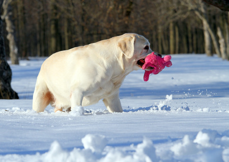 yellow labrador in the snow in winter with a pink toy close photo