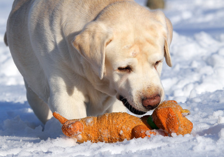 yellow labrador in the snow in winter with an orange toy close photo
