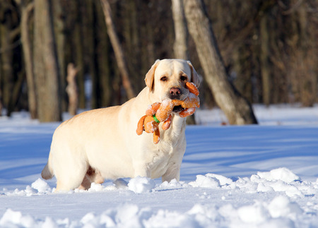 yellow labrador in the snow in winter running with an orange toy photo