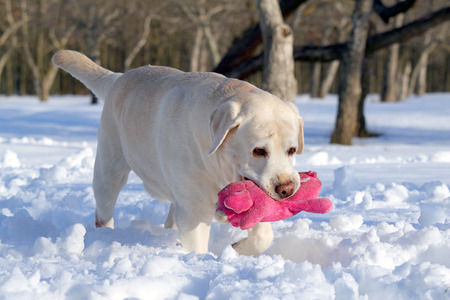 yellow labrador in the snow in winter with a pink toy photo