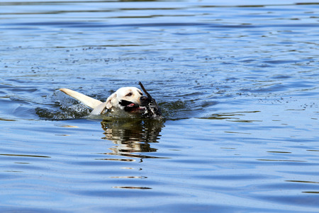 retrieving: a yellow Labrador retriever dashes back to the hunter after retrieving a duck