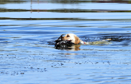 retrieving: the young yellow Labrador retriever retrieving a duck in the pond