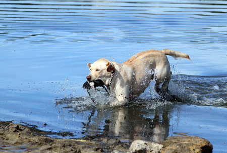 retrieving: the yellow Labrador retriever retrieving a duck in the pond