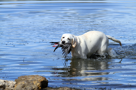 retrieving: nice young yellow Labrador retriever retrieving a duck in the pond