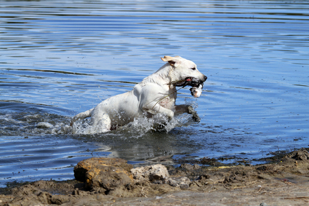 retrieving: nice hunting yellow Labrador retriever dashes back to the hunter after retrieving a duck