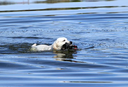 retrieving: a nice hunting yellow Labrador retriever dashes back to the hunter after retrieving a duck