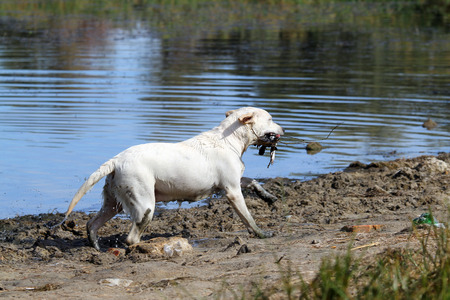 retrieving: a young yellow Labrador retriever retrieving a duck in the pond