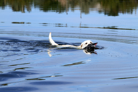 retrieving: young yellow Labrador retriever retrieving a duck in the pond