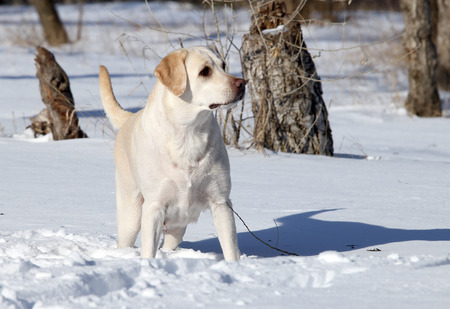 yellow labrador in the snow in winter Stock Photo