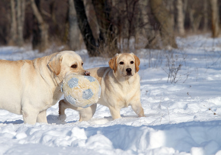 two happy yellow labradors in the snow in winter with a ball