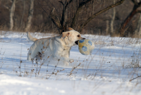 labrador: happy yellow labrador in the snow in winter with a ball