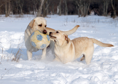 two yellow labradors in the snow in winter with a ball