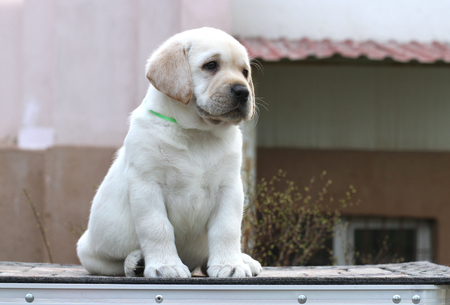 the little yellow labrador puppy sitting on grey background Stock Photo