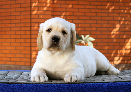 ittle: ittle yellow labrador puppy sitting on blue background