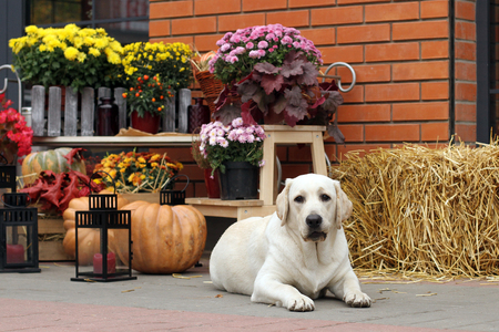 little yellow labrador puppy sitting in the park in autumn