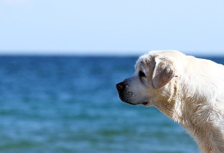 the yellow labrador playing at the sea in summer portrait Stock Photo