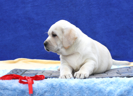 one little nice cute yellow labrador puppy sitting on blue background Фото со стока