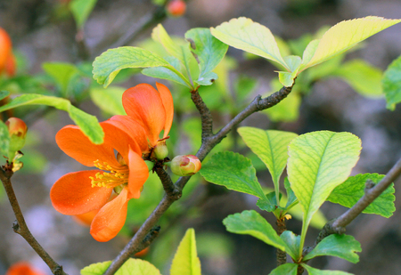 flowering Japanese plum branch in Spring in the garden