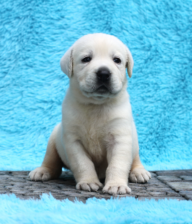 the little yellow labrador puppy sitting on blue background Фото со стока