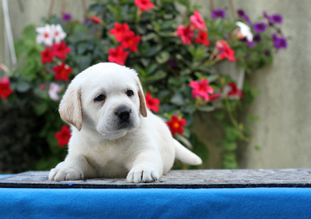 the little yellow labrador puppy sitting on blue background 写真素材