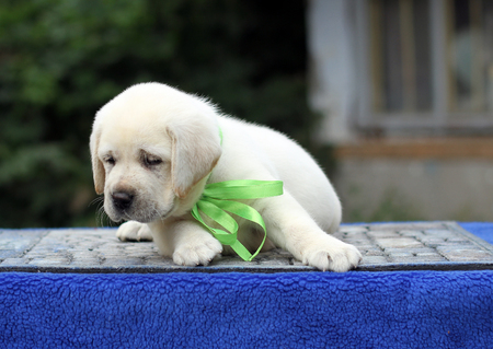 a sweet little yellow labrador puppy sitting on blue background