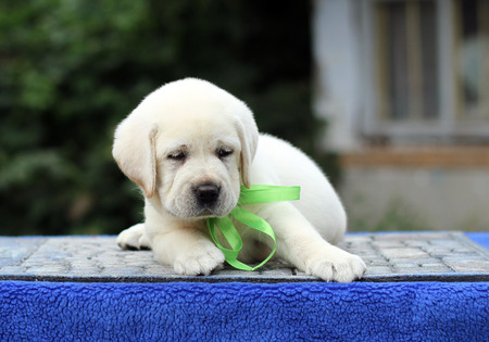 the sweet little yellow labrador puppy sitting on blue background