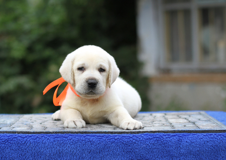 sweet little yellow labrador puppy sitting on blue background