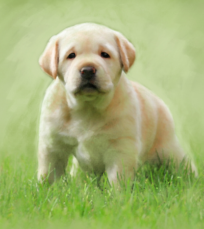 A sweet puppy yellow labrador oil portrait