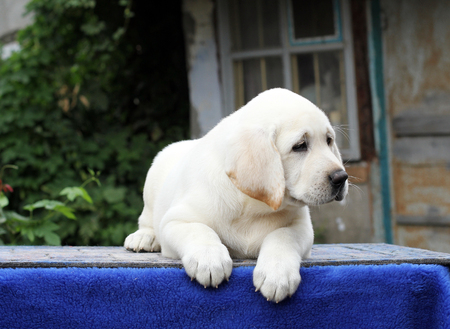 little yellow labrador puppy sitting on blue background
