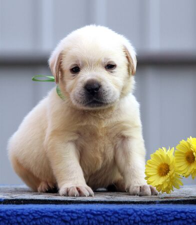 nice little labrador puppy on a blue background