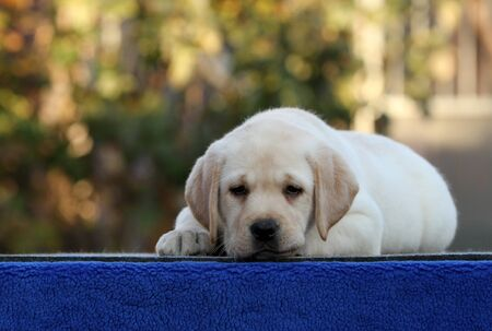 the sweet nice little labrador puppy on a blue background Stock fotó