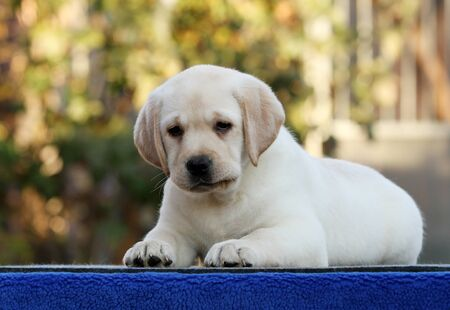 a sweet nice little labrador puppy on a blue background Stock fotó