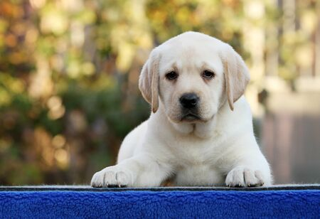 sweet nice little labrador puppy on a blue background