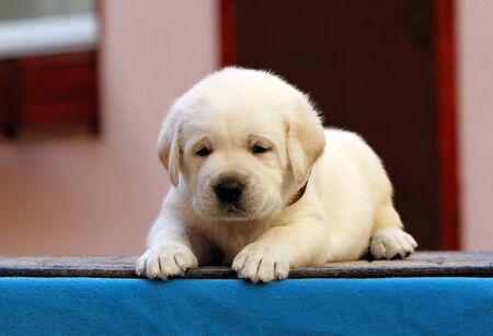 nice little labrador puppy on a blue background Foto de archivo