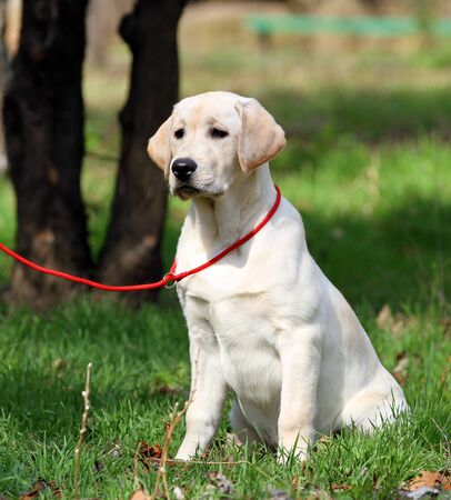 sweet nice yellow labrador playing in the park