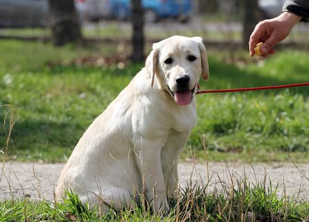 nice yellow labrador playing in the park