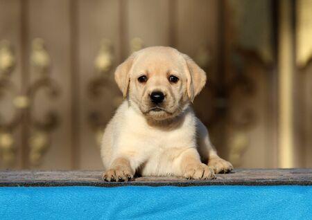 a little labrador puppy on a blue background