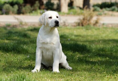 the sweet yellow labrador playing in the park