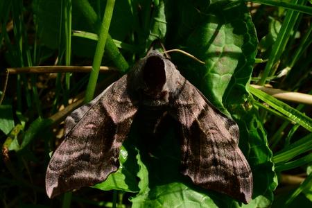 ocellatus: Summer morning hiding in the grass Butterfly smerinthus ocellatus