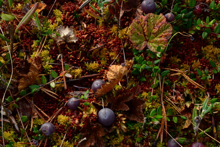 yellowing: Autumn cranberries on red yellow moss in the swamp yellowing leaves