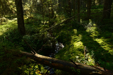 forest stream: Forest stream in the spruce forest in autumn filled with rainwater Stock Photo