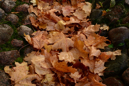 deepening: Deepening the cobblestones in the wet autumn maple leaves