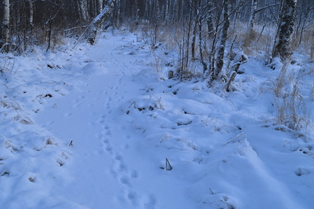 preceding: Nature winter forest animal tracks in the fresh snow white