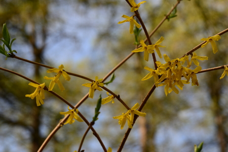 ovoid: Spring flowers Forsythia ovoid on the branches of shrubs in bloom