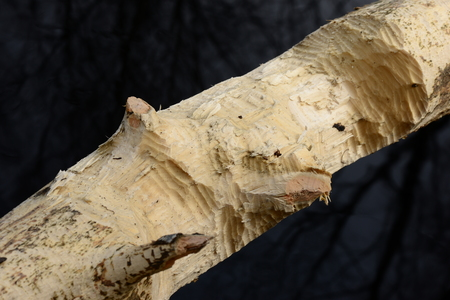 aspen tree: Jobs beavers on aspen tree on the texture of carved wood