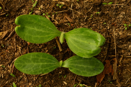 early summer: Seedlings cultivated vegetable marrows in early summer
