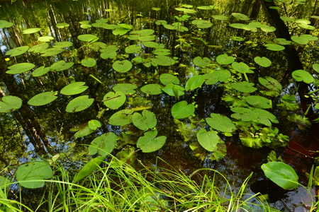 thickets: Summer forest river in thickets of water lilies Stock Photo
