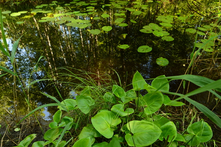 thickets: Thickets of water lilies in the summer on a forest river